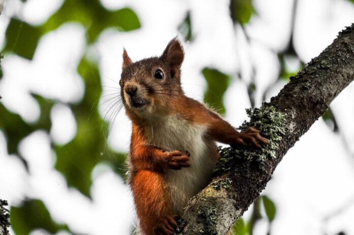 orava-veikka-lassila