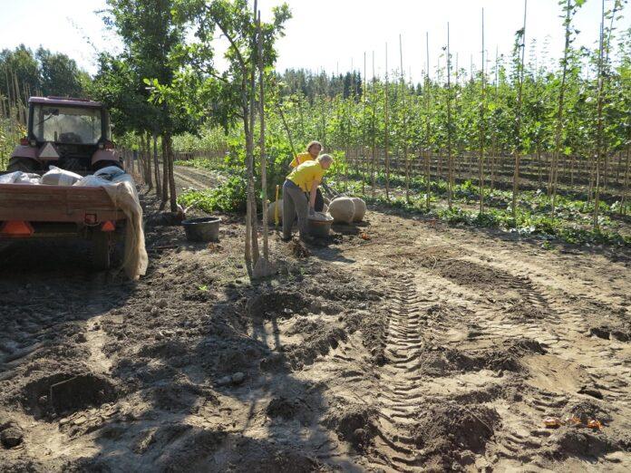 puiden-paakkutaimien-nostoa-kuva-puutarhaliitto
